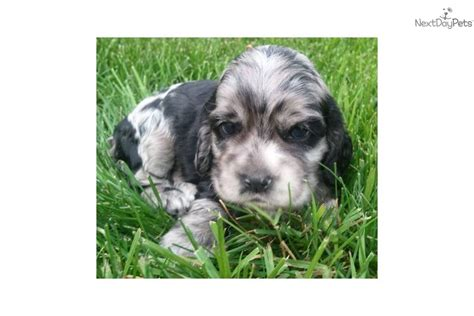 yorkie poo for sale in colorado springs yorkie poo puppies colorado springs