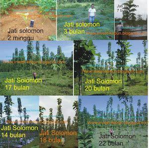 Benih Sengon Bersertifikat jual bibit jabon unggul kultur jaringan jual bibit jabon