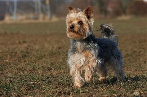 standard yorkie terrier coat features and varieties pets4homes