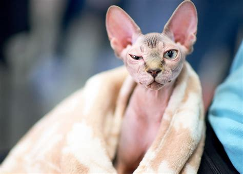 cornish rex resimleri woman shocked after realizing her 700 hairless sphynx cat