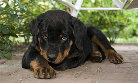 awesome rottweiler names 10 best rottweiler names