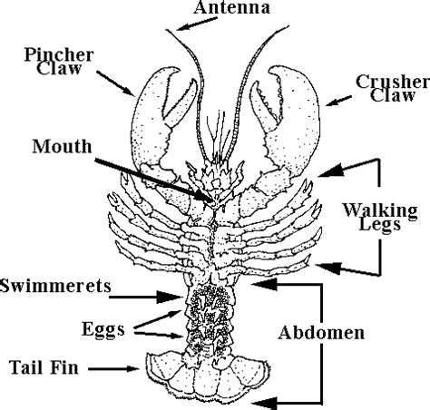 parts of a lobster boat gulf of maine research institute lobster anatomy