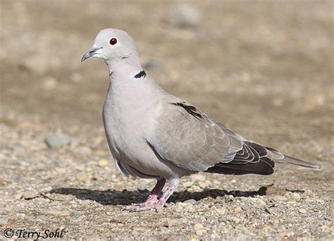 eurasian collared dove south dakota birds and birding