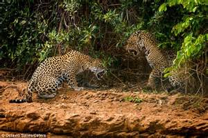 Jaguar Mate Mating Jaguars End Up Clawing At Each Other In