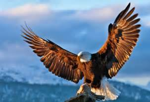 Bald eagle wallpapers free eagle pictures free download eagle
