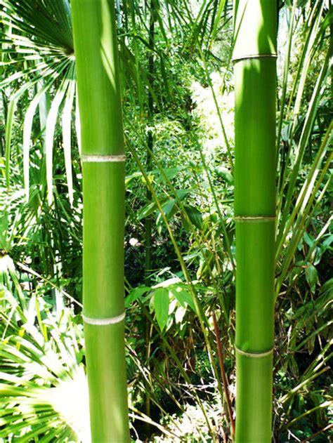 nursery plants bamboo bamboo screensaver bamboo plants