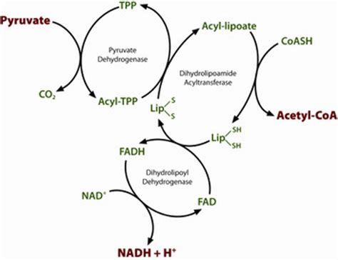 pyruvate oxidation diagram glycolysis and citric acid cycle diagram glycolysis free