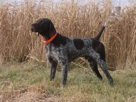 german haired pointer puppies best gun dogs utah german shorthaired pointer breeders gun breeders classified ads