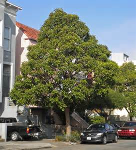 List Of Evergreen Fruit Trees - brisbane box friends of the urban forest