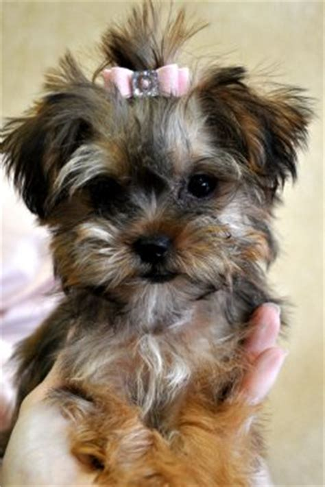 teacup yorkie for sale in amarillo tx yorkie mix sale image search results breeds picture