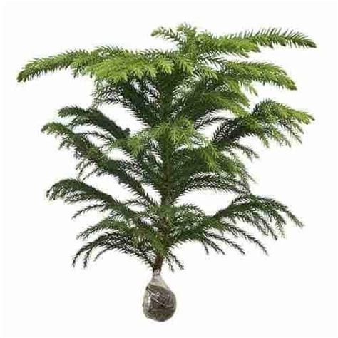 Bibit Pohon Cemara Norfolk jual tanaman cemara norfolk bibit