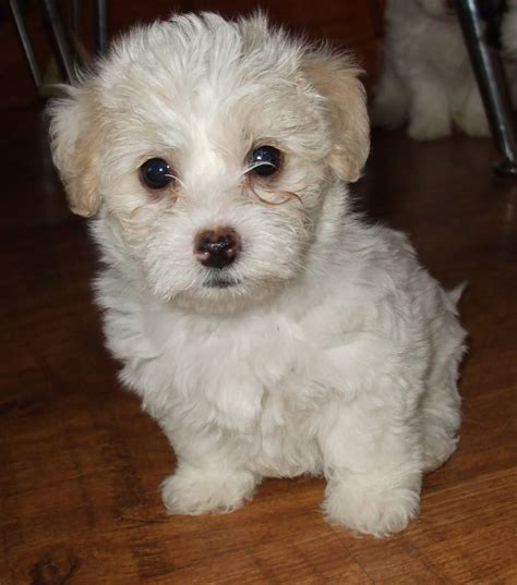 bichon frise x shih tzu for sale bichon frise x shih tzu x puppies for sale gravesend kent pets4homes