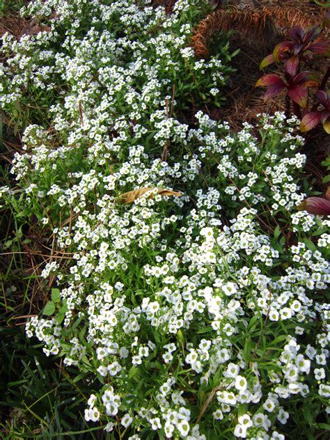 best winter garden plants best winter flowers for florida gardens miss smarty plants