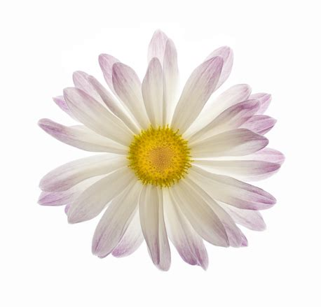 white and purple daisy flower isolated, free photos