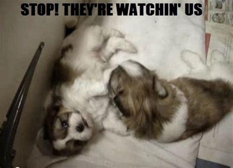shih tzu joke cats animal humor photo 16335563 fanpop