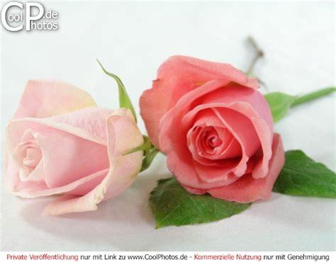 imagenes de rosen up coolphotos de fotos rosen studioaufnahme von zwei rosen