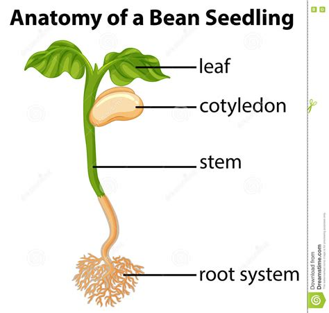 bean plant diagram anatomy of bean seedling on chart stock vector image