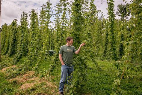 backyard hops backyard hops 28 images backyard hop vines grown