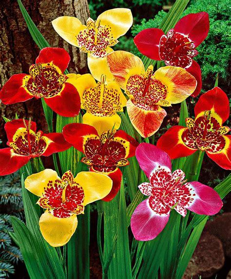buy tiger flowers mixed bakker com
