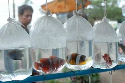 Agribisnis Ikan Mujair ikan hias foto pasar ikan