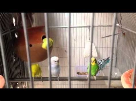 love birds house music birds in home love birds youtube
