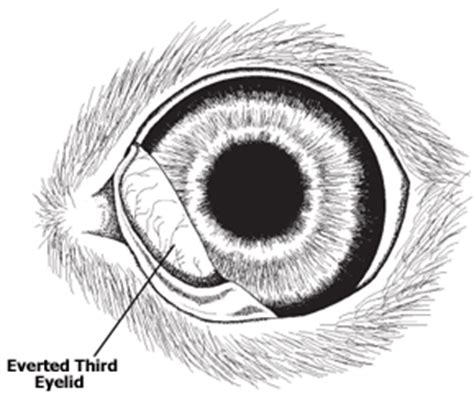 third eyelid folded or everted third eyelid in dogs