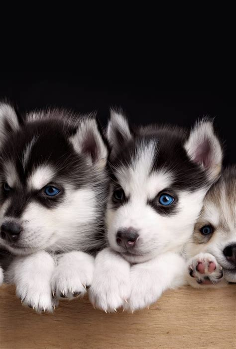 husky puppies wallpaper  desktop mobile