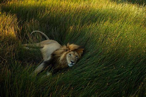 imagenes de leones national geographic 15 fotografias 237 ntimas de le 245 es