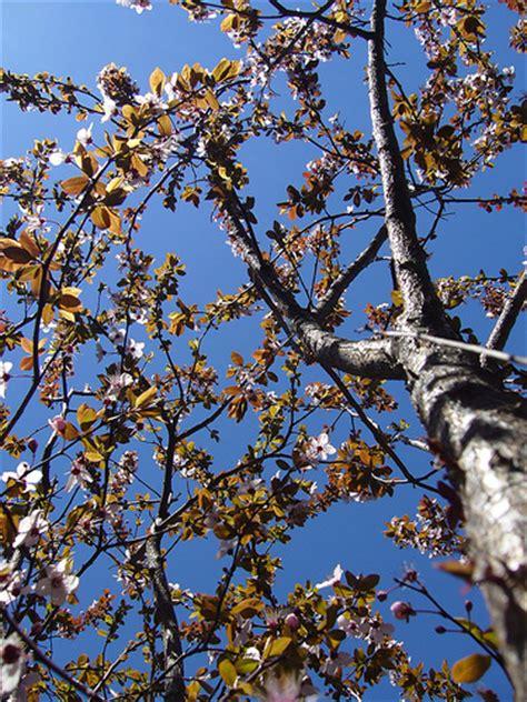 fruitless flowering plum tree flickr photo sharing