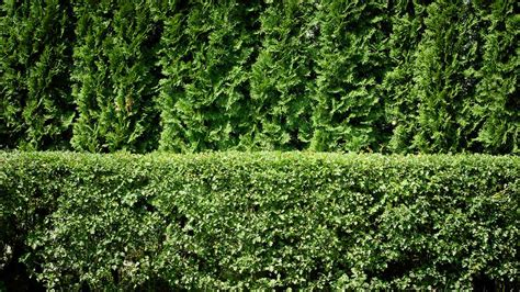 Good Shade Trees For Backyard How To Plant A Privacy Hedge Arborday Org