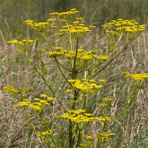 bloemen herkennen aan blad pastinaak pastinaca sativa gele wilde bloemen