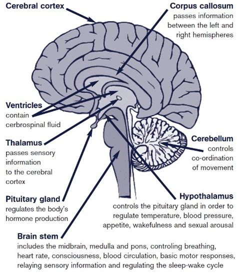 brain stem diagram brain stem function applecool info