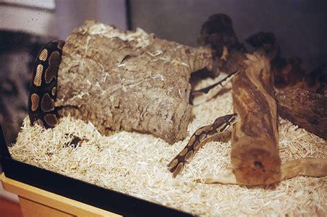 ball python bedding havana burrows my pet python