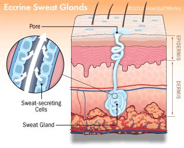 Does Sweat Turn You On by The Cause Of Odor Howstuffworks