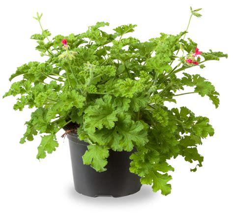 choco scent geranium