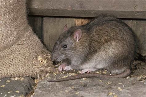 Would You Eat A Rat by Rats Eat Three Month Baby Alive Left Alone