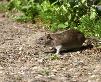 ratti in giardino trappole per ratti di cagna intelligenti topicidi