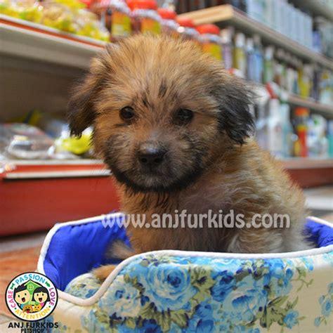 silky terrier shih tzu mix shih tzu silky terrier puppies sold 2 months shih tzu mix silky terrier puppies