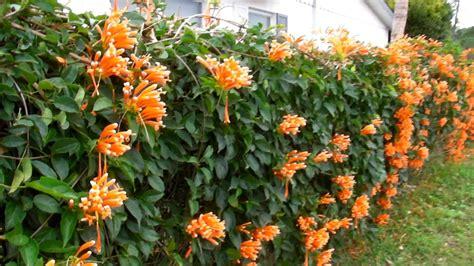 florida climbing plants florida vine pyrostegia venusta
