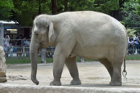 Asian Elephant Wallpapers Backgrounds