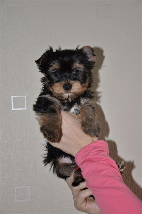 small yorkies for sale uk small yorkies looking for a loving home walsall west midlands pets4homes