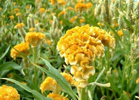 fiori creste di gallo celosia ovvero la cresta di gallo pollicegreen