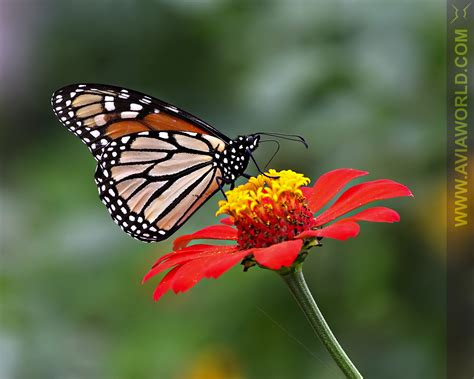 butterflies images butterfly pictures butterflys pictures pictures of