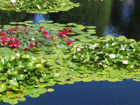 plante pour etang jardin plantes d 233 tang et de bassin de jardinmon coach jardin