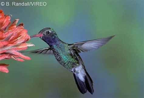 vireo bird photos