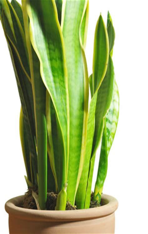schmale hohe zimmerpflanze bogenhanf sansevieria pflege und vermehrung