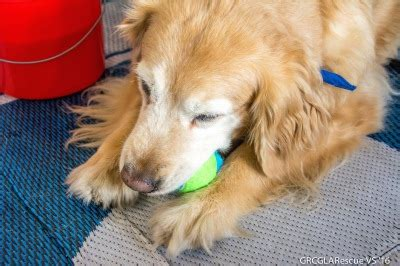 adopt a golden retriever uk welcome to the golden retriever club of greater los angeles rescue