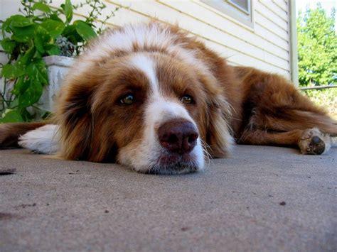 dogs with diarrhea diarrhea home remedies pethelpful