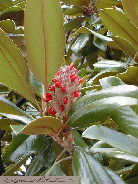 southern flowering shrubs southern flowering magnolia