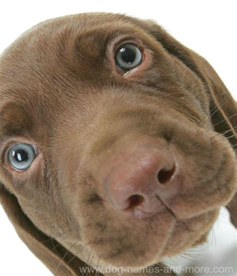 big names chocolate lab names breeds picture